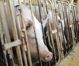 "Duke Professor Suggests Simple Solution to ""Ag-Gag"" Laws"