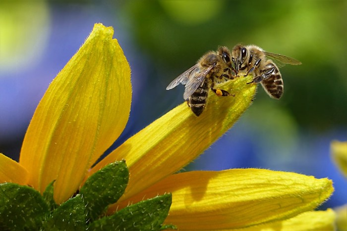 New Study Links Neonicotinoid Pesticide To Negative Social Behavior In Bees