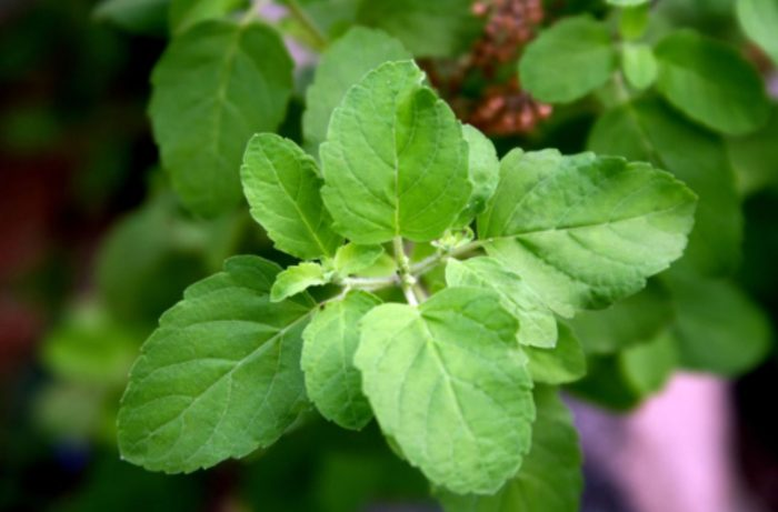 What Is Holy Basil (Tulsi)? Facts, Health Benefits, Uses