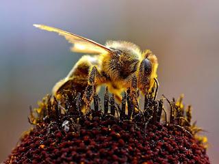 EU Passes Ban on Bee-Killing Pesticides