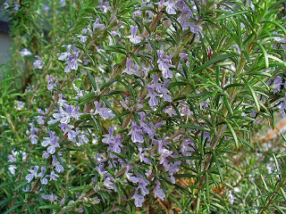 The Powerful Healing Qualities of Rosemary Essential Oil