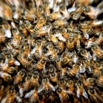 USDA Suspends Honeybee Research Despite Rapid Decline of Bee Populations