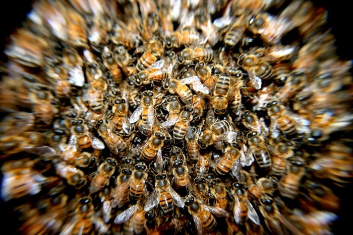 bees-276190_960_720-700x467