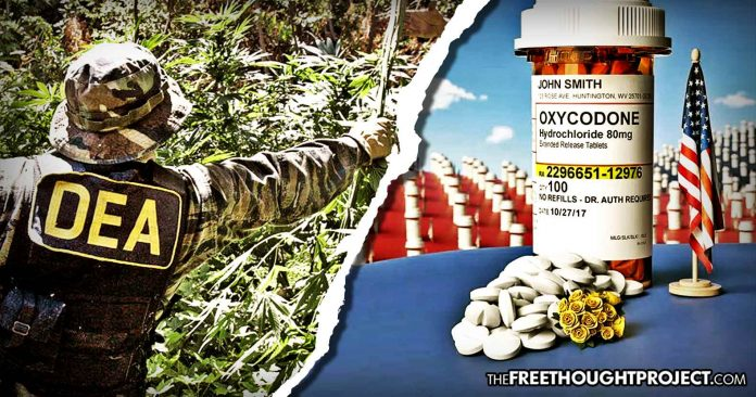 DEA Makes Shocking Move, Orders Increase In Cannabis Production by 500% to Fight Opioid Crisis