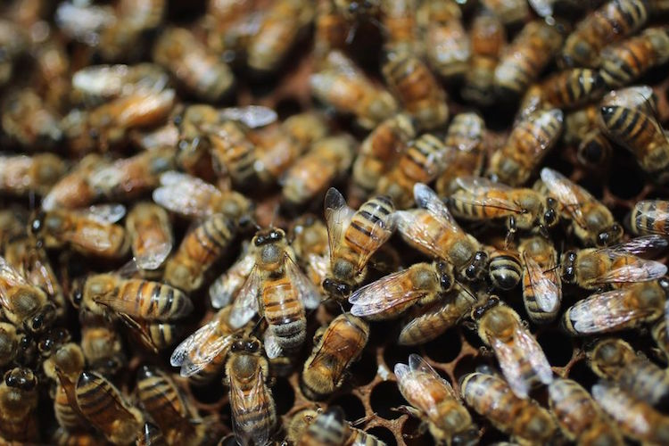 Confirmed: Monsanto's Glyphosate Killing Bees, Disrupting The Gut Microbiome