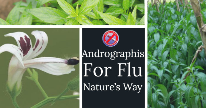 Andrographis Instead of the Flu Vaccine