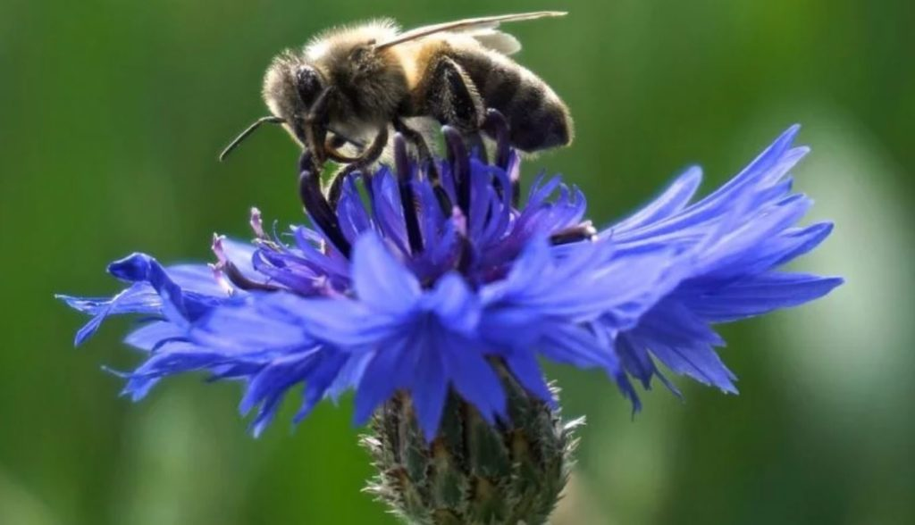 Wild Bee Population Collapses By 90% In New England, Study Warns Bee-mind-unleashed-1024x588