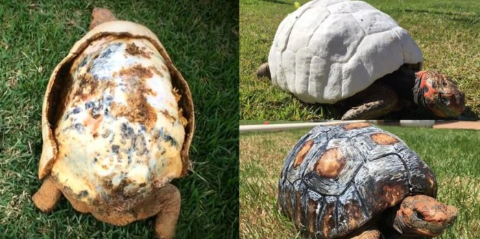 This Tortoise Received The World's First 3D Printed Shell After Losing Its Shell In Fire