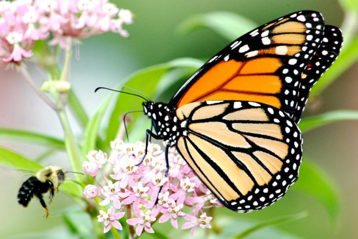 Plant Native Milkweed Cultivars to Support Monarch Butterflies and Bees
