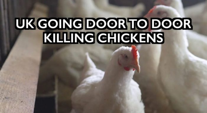UK Going Door to Door Killing Chickens – Bird Flu as Cover Story