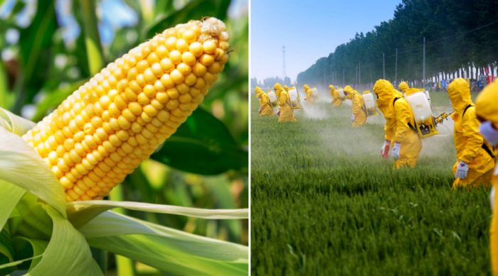 Mexico Decrees Ban on GMO Corn and Monsanto's Glyphosate Weed Killer